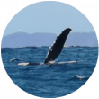 lob-tailing-flipper-slapping-behavior-img-1
